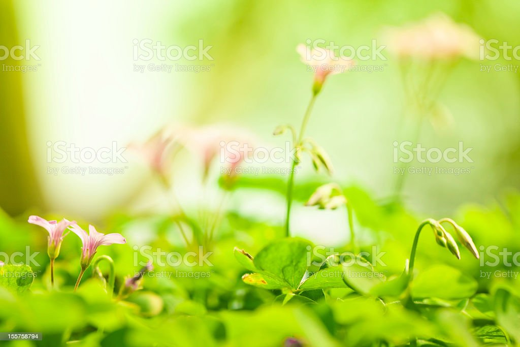 clover and flower in spring royalty-free stock photo