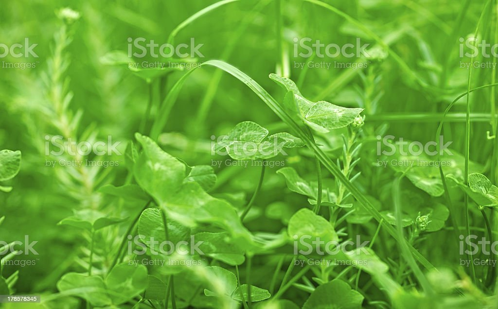 Clover and grass in spring royalty-free stock photo