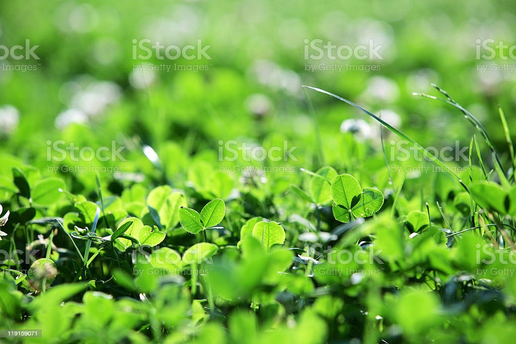clover and grass stock photo
