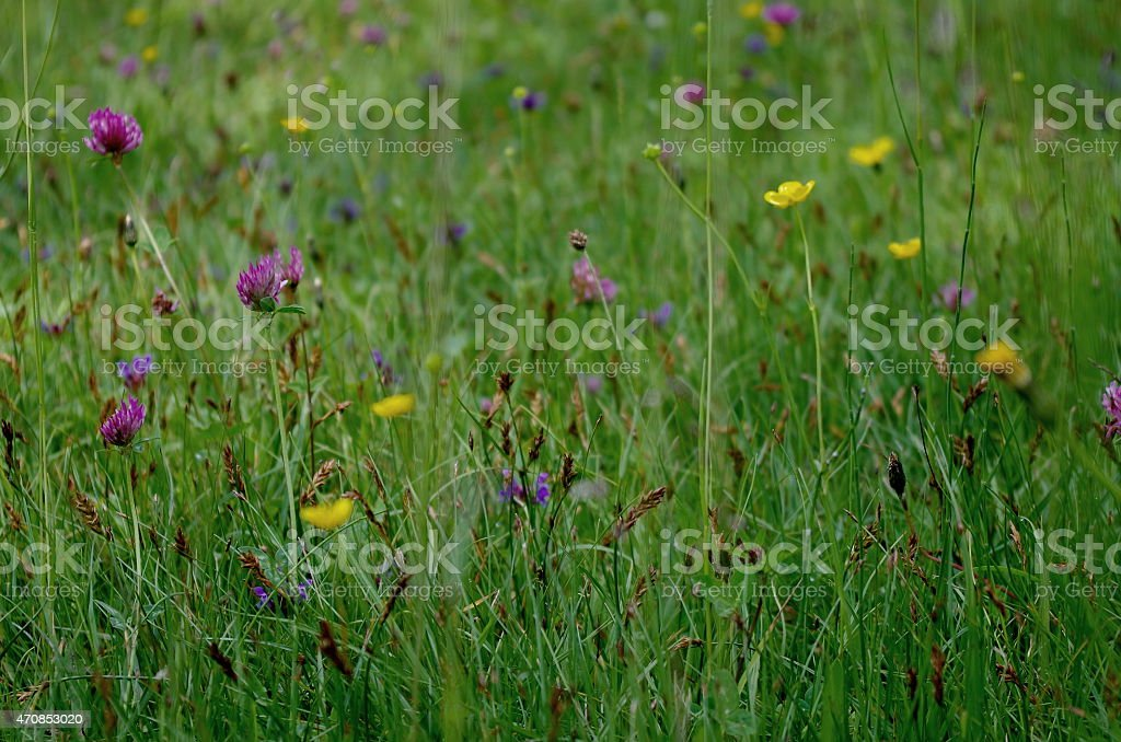 Clover and herbs stock photo
