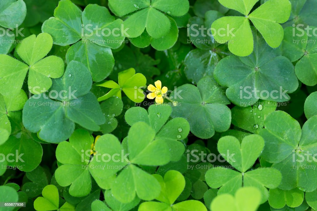 Clover and little yellow flower stock photo