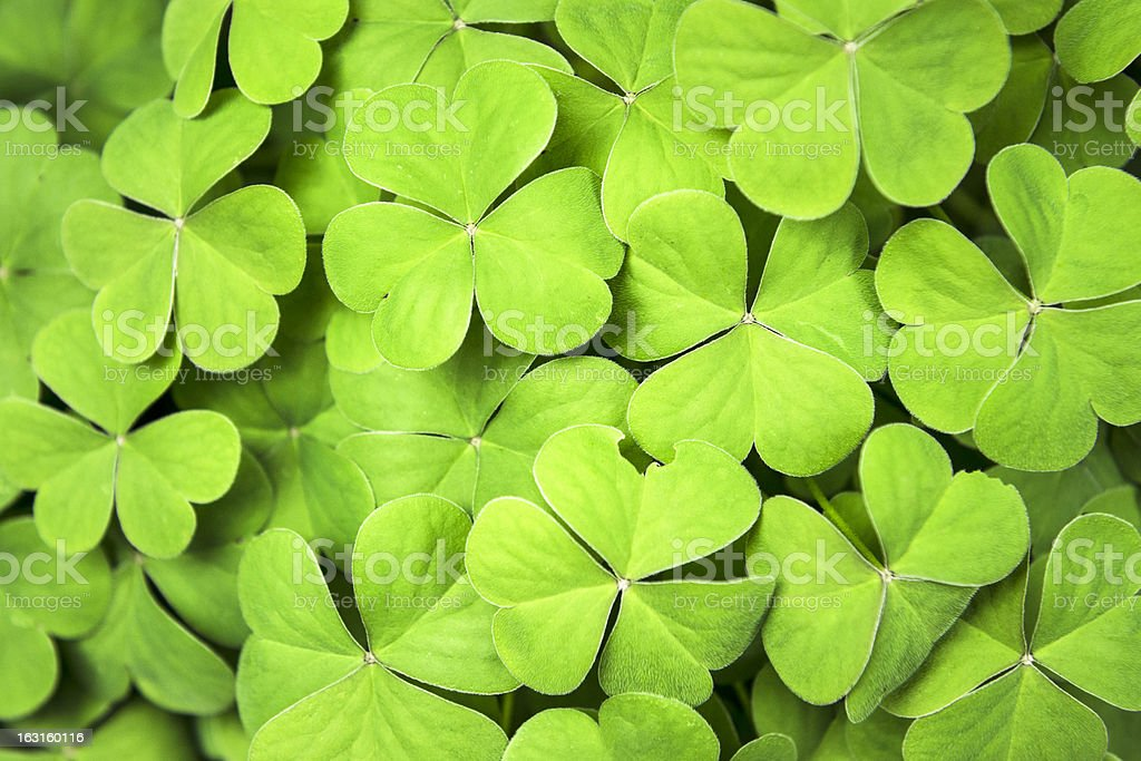 Clover background for St. Patrick day stock photo