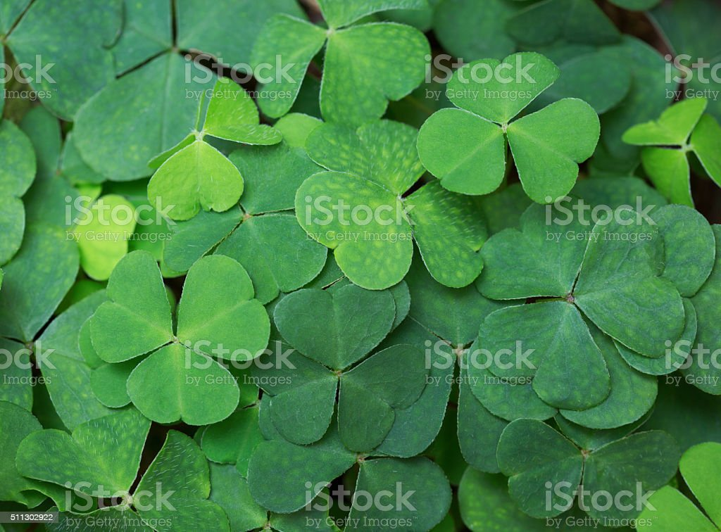 Clover background. stock photo