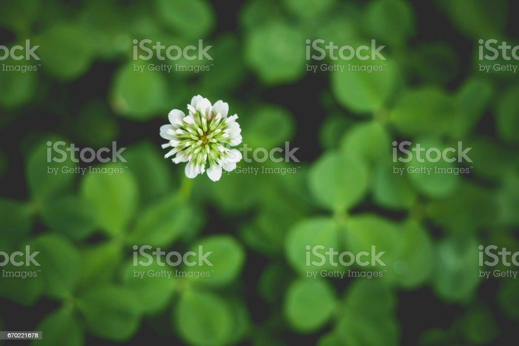 Clover blossom stock photo
