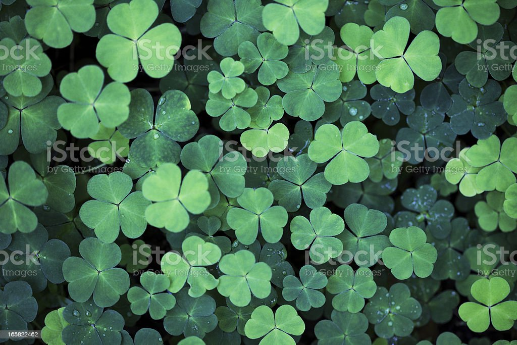 Clover Field Background stock photo
