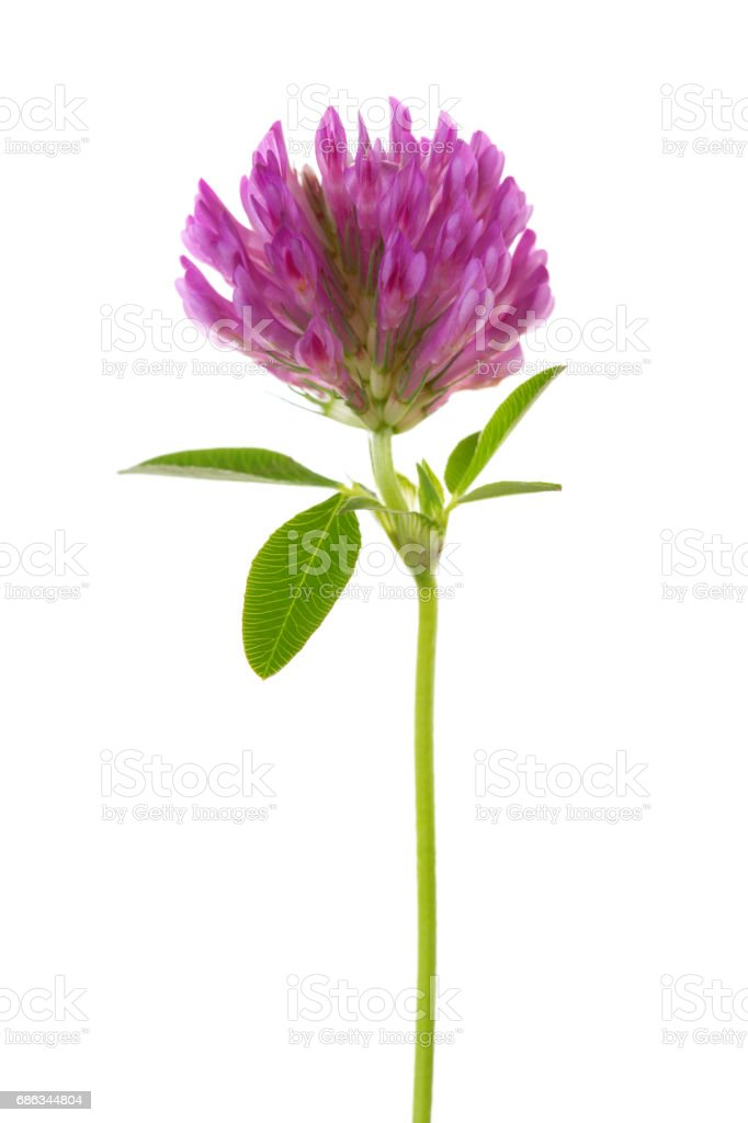 Clover flower isolated on white background. Trifolium pratense stock photo