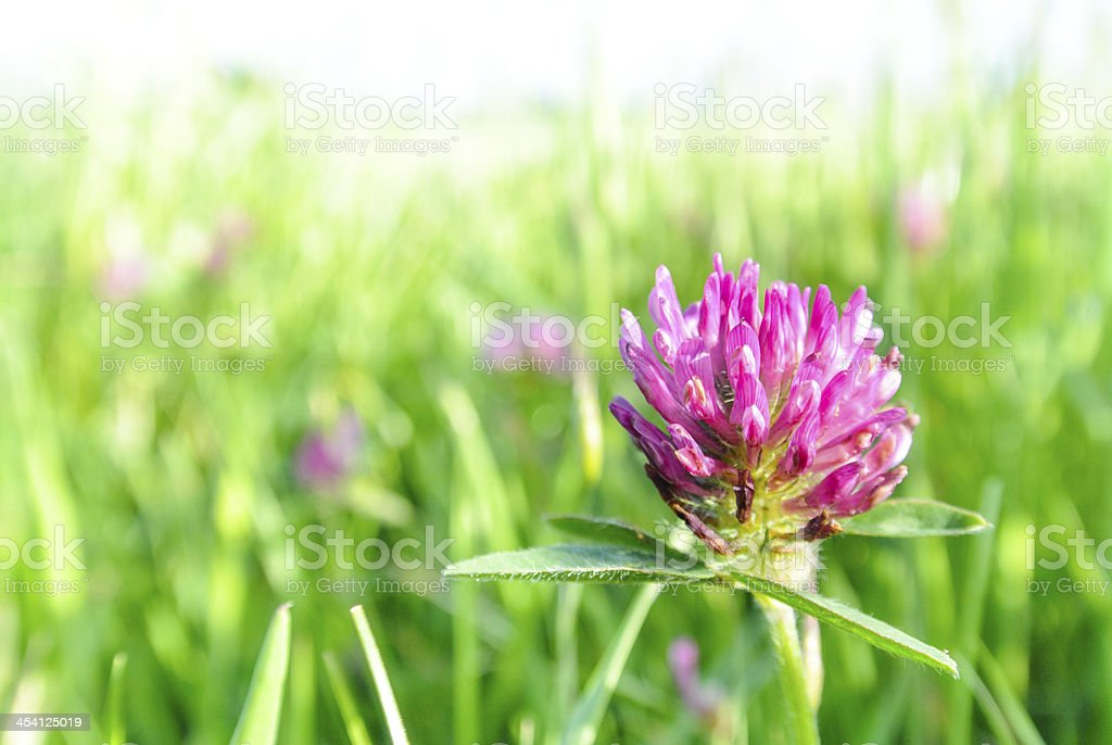 Clover flower stock photo