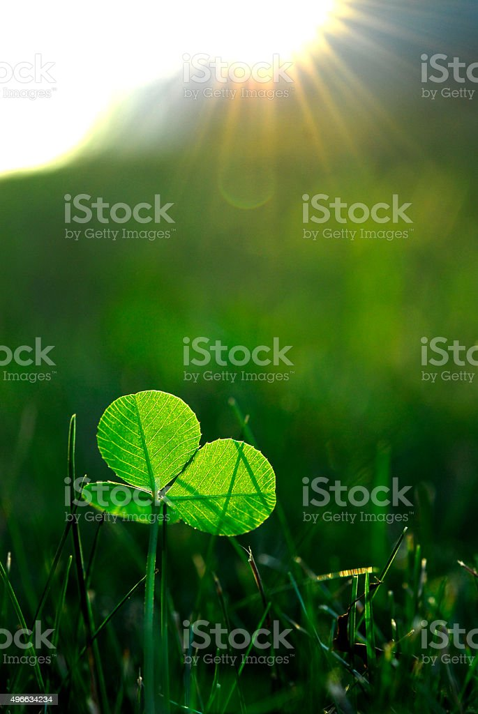 Clover growing in the Grass - Low Angle stock photo