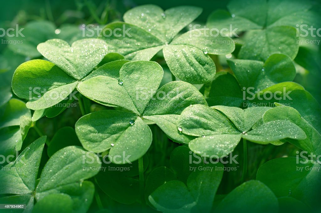 Clover in meadow - clover leaves stock photo