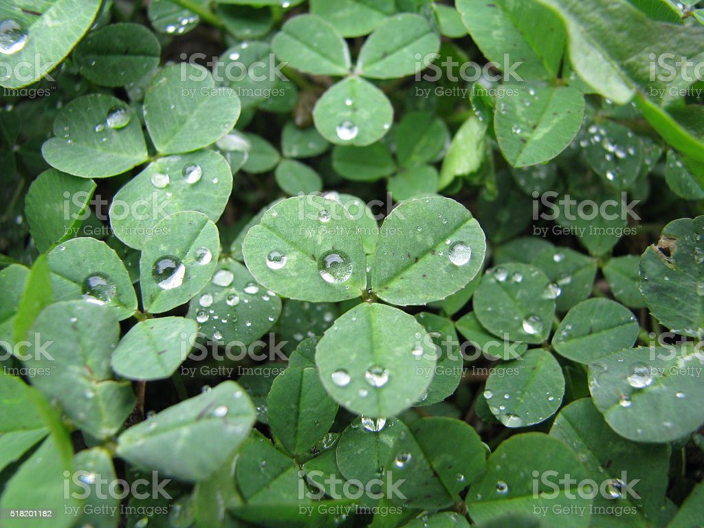 clover in meadow stock photo