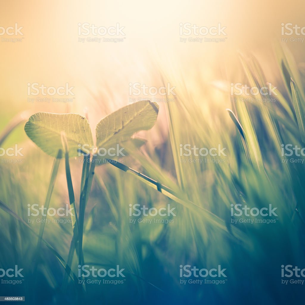 Clover in the field royalty-free stock photo