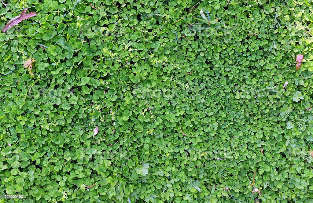 Clover Lawn stock photo