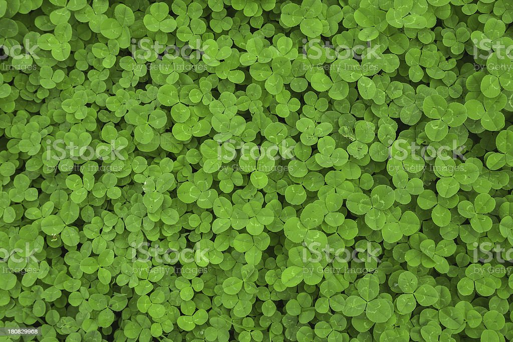 clover leaf background stock photo