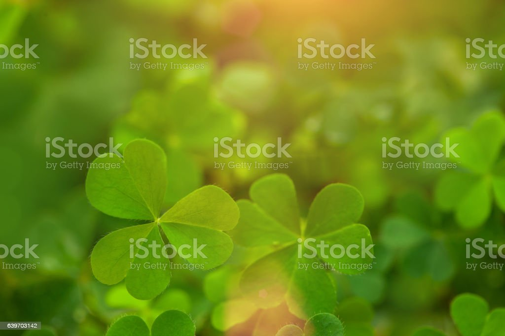 clover leaf in lens flare for background stock photo