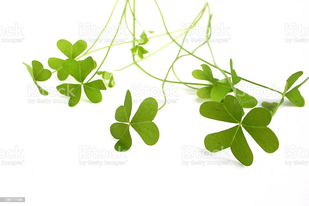 clover leafs stock photo