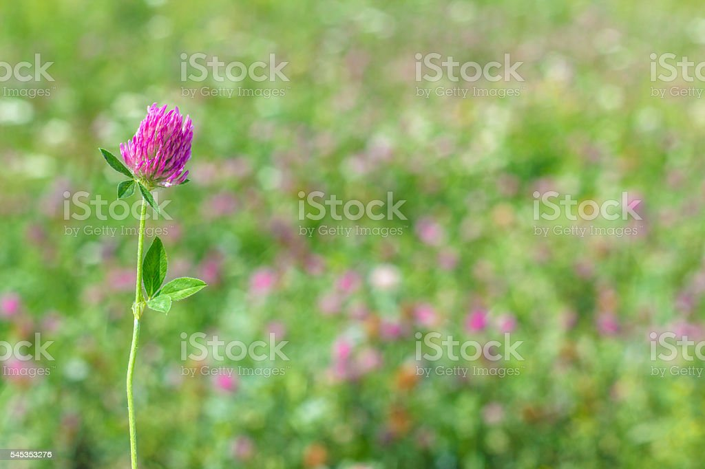 clover meadow on a blurred background stock photo