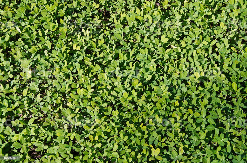Clover Natural  Background stock photo