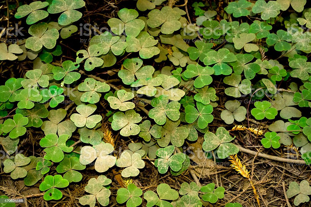 Clover Patch stock photo