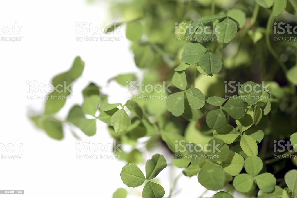 Clover. royalty-free stock photo