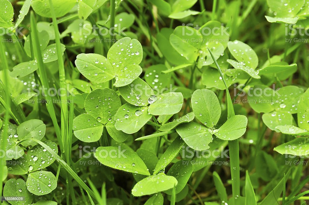 Clover plants royalty-free stock photo