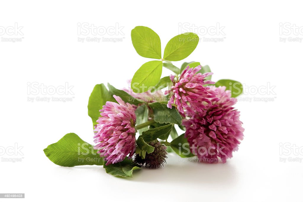 Clover, red clover medicinal plant isolated stock photo