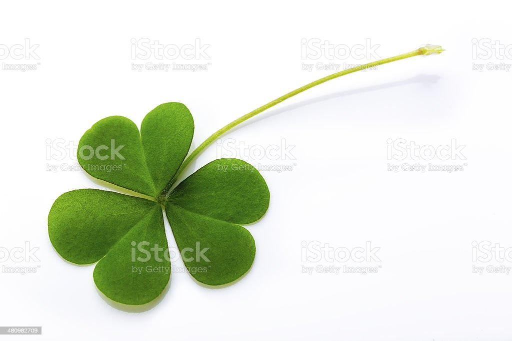 Clover white background stock photo