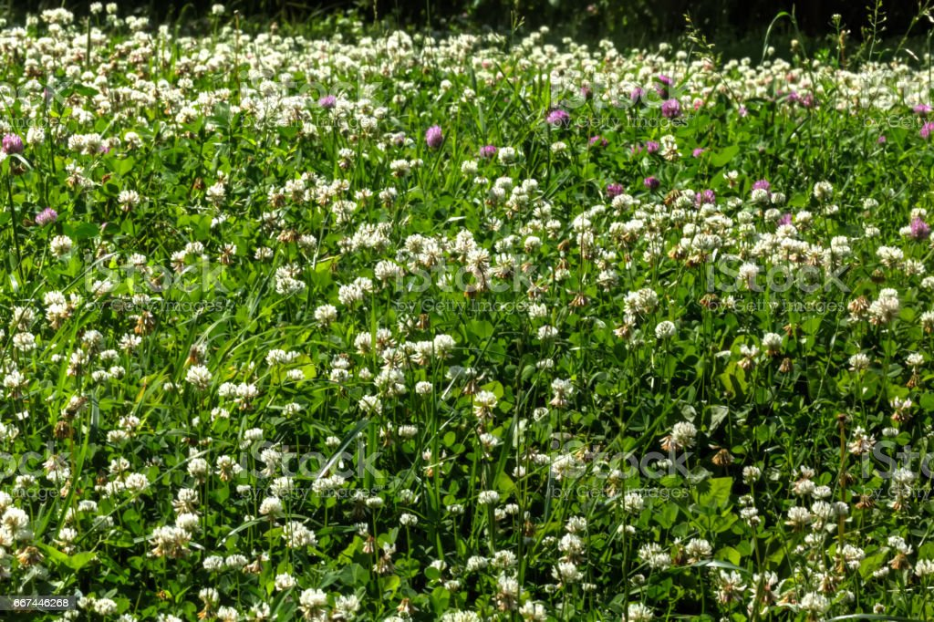 Clover. Wild flower. stock photo