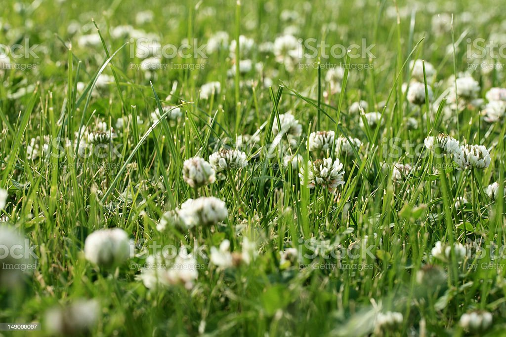 Clover's field royalty-free stock photo
