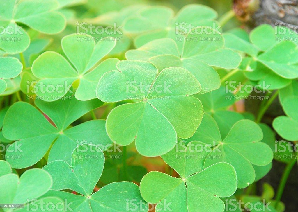 clovers stock photo