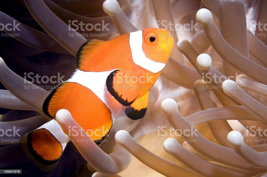Clown Anenomefish On Anenome stock photo