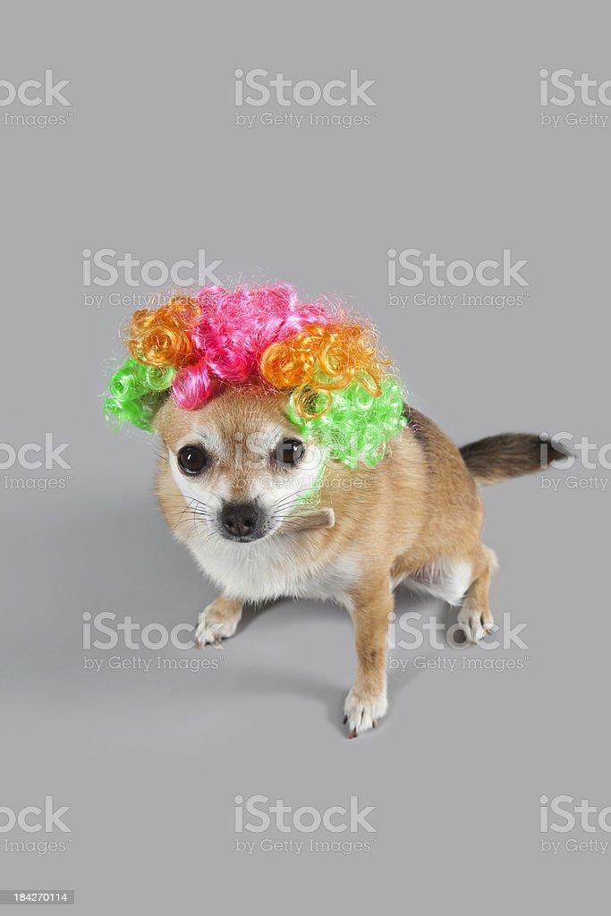 Clown dog for halloween stock photo