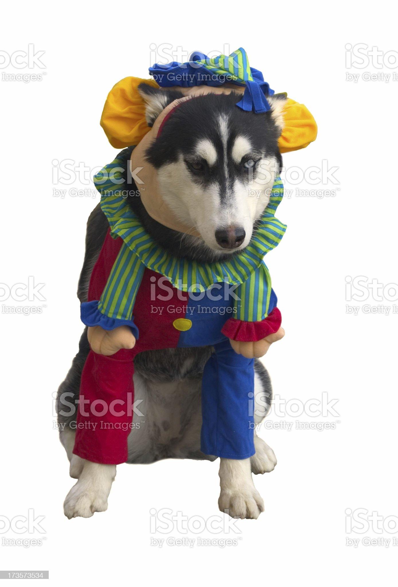 Clown Dog royalty-free stock photo