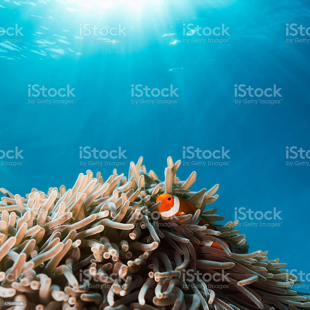 Clown Fish hiding in Anemone stock photo