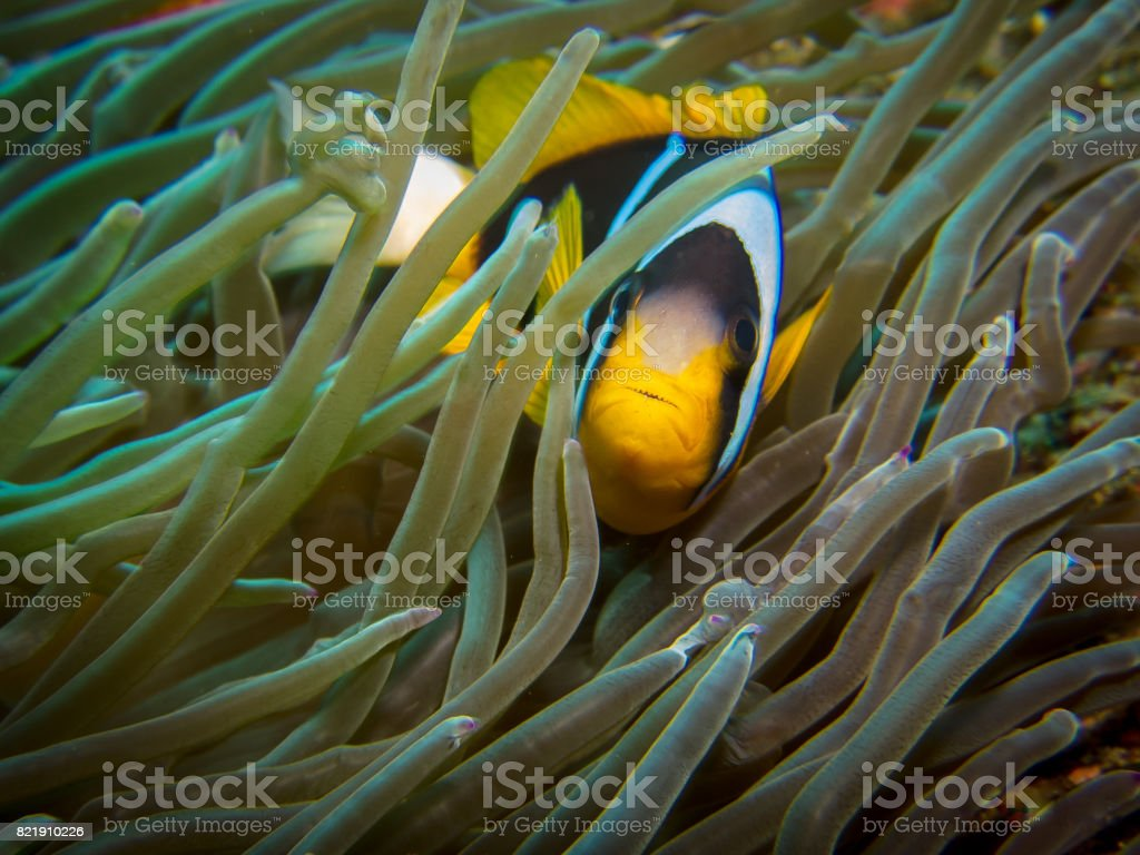 Clown fish (Two-bar anemone fish) in an anemone stock photo
