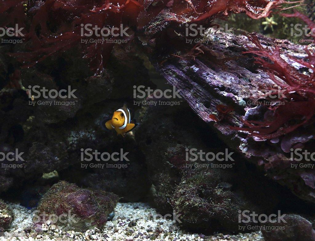 Clown fish in tropical sea stock photo