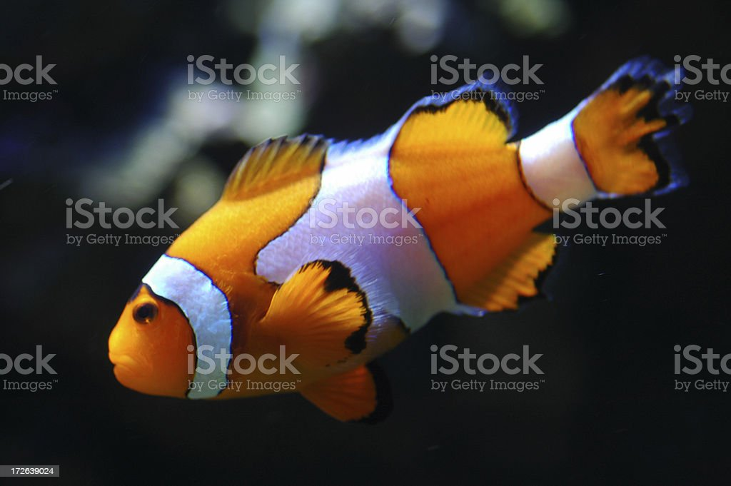 Clown Fish royalty-free stock photo
