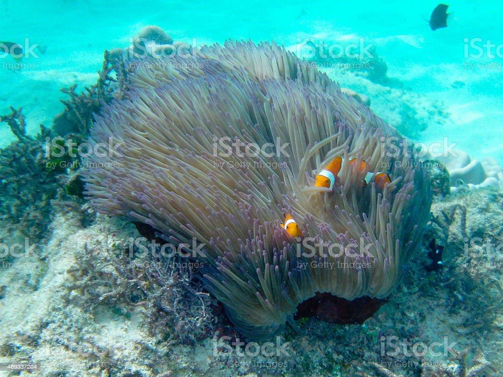Clown Fish royalty-free stock photo
