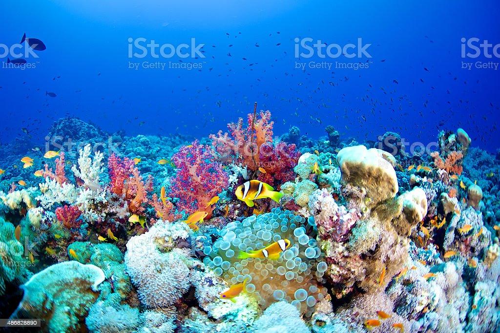 Clown fish (Amphiprion bicinctus) stock photo