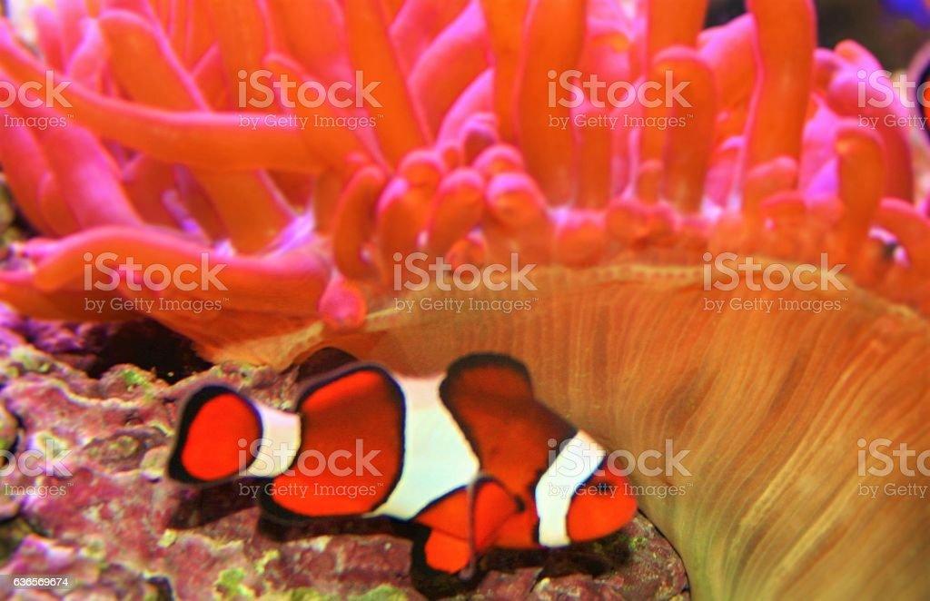 Clown Fish stock photo