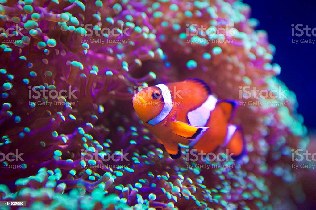 Clown Fish Swimming among Coral Reef, Underwater and Close-up stock photo
