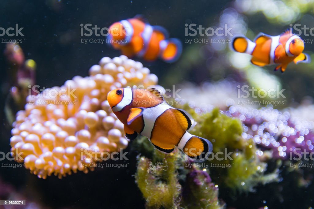 Clown fish (Amphiprion ocellaris) swimming around anemone stock photo