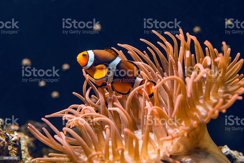 Clown fish swimming stock photo