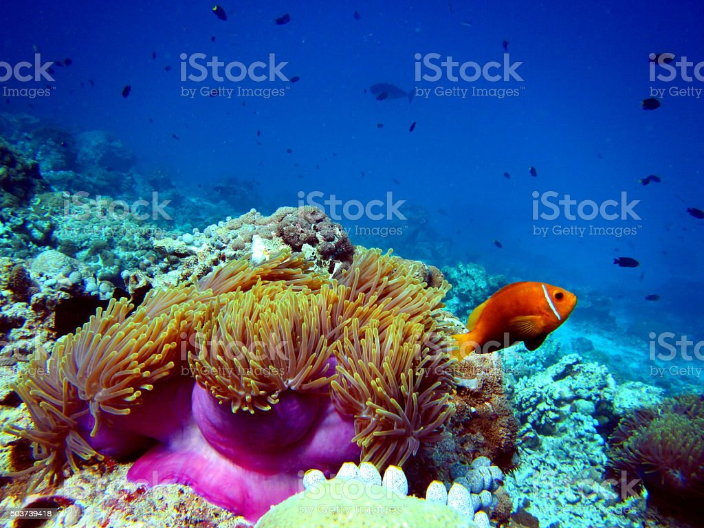 Clown Fish with Anemone stock photo