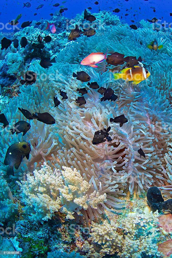 Clown fish-Amphiprion bicinctus stock photo