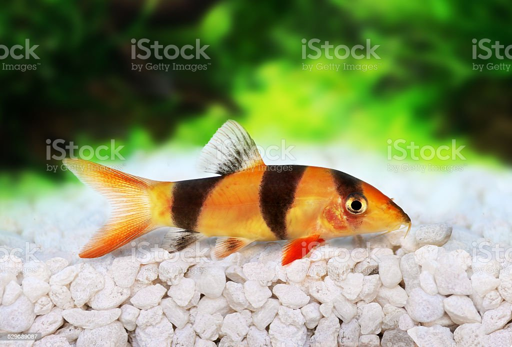 Clown loach tiger botia catfish Botia macracanthus aquarium fish stock photo