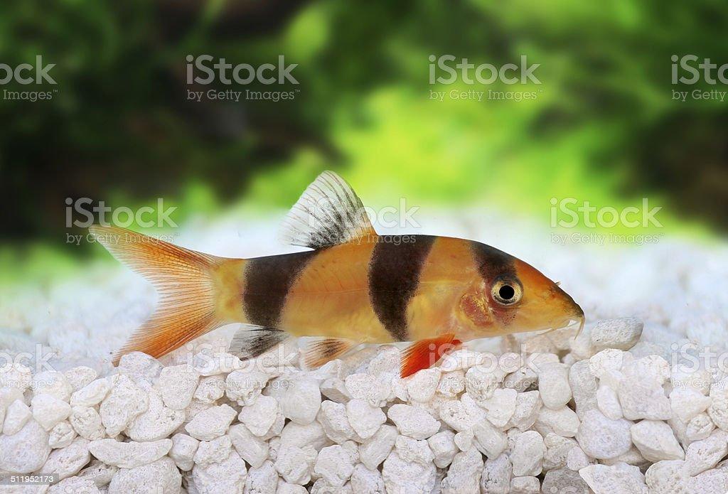 Clown loach tiger botia catfish Botia macracanthus in planted aquarium stock photo