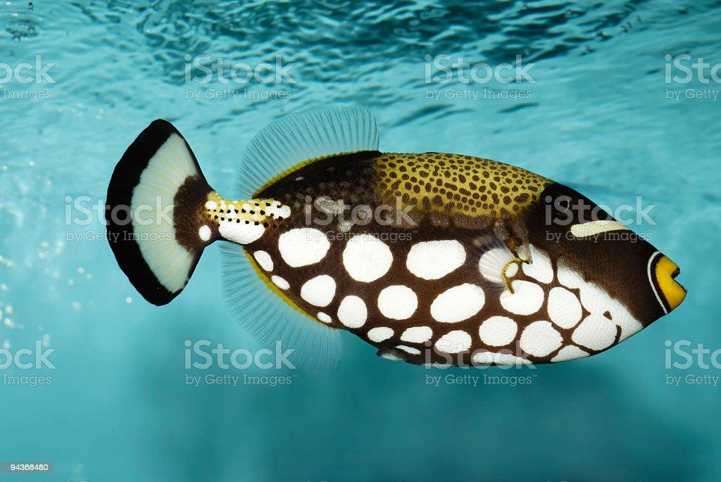Clown Triggerfish royalty-free stock photo