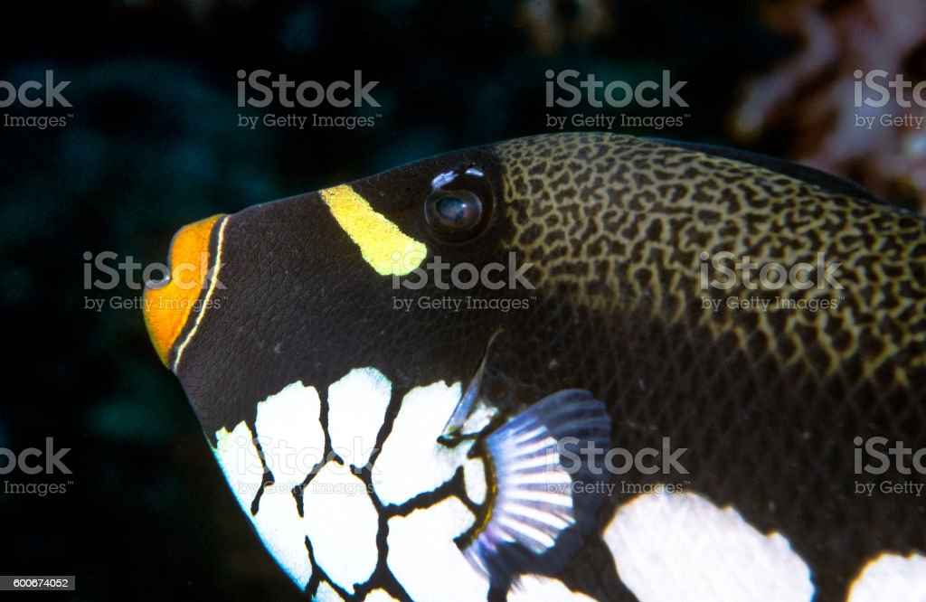 Clown Triggerfish - Thailand (Left eye level) royalty-free stock photo
