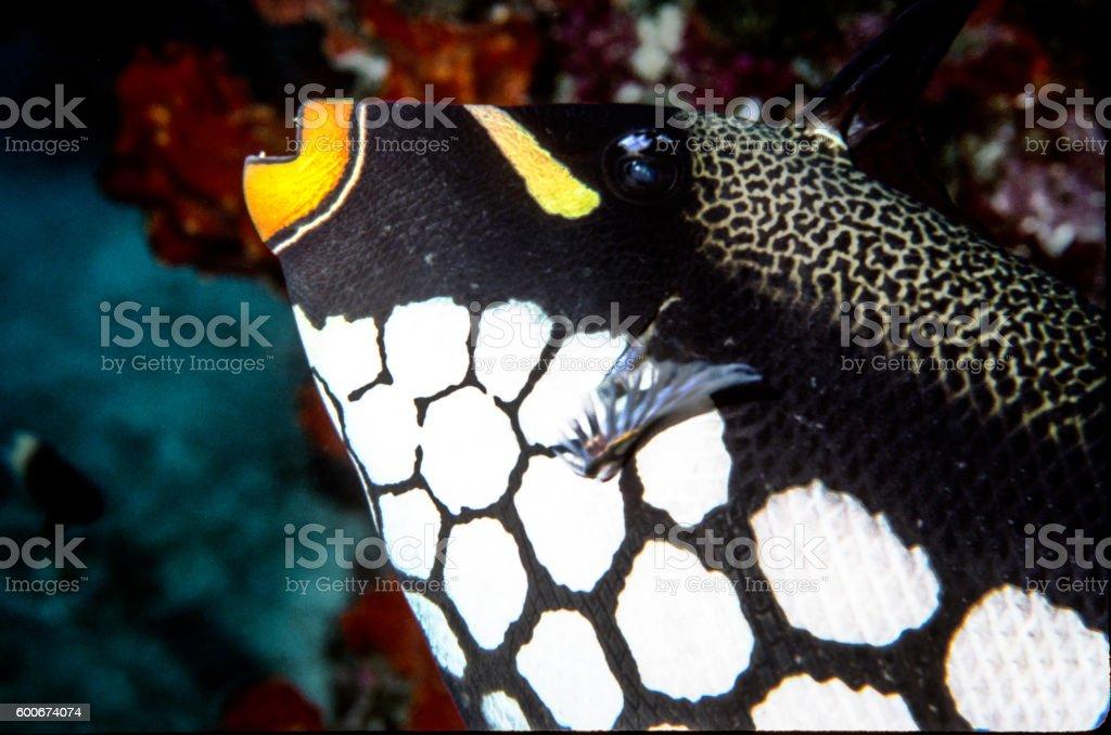Clown Triggerfish - Thailand (Left eye) royalty-free stock photo