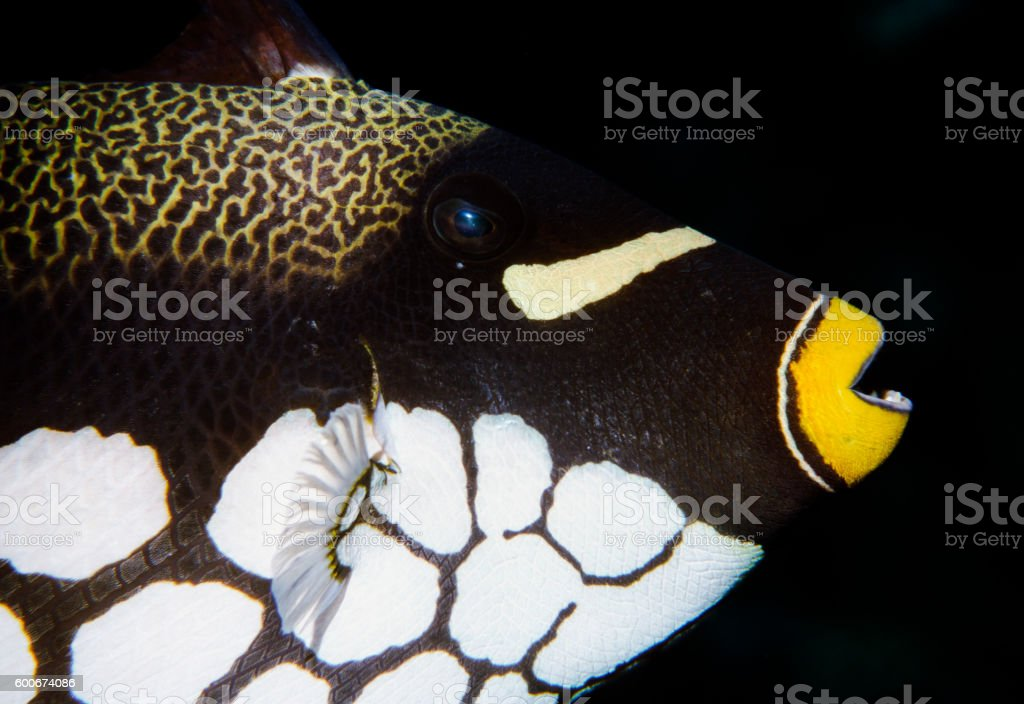 Clown Triggerfish - Thailand (Right eye) royalty-free stock photo